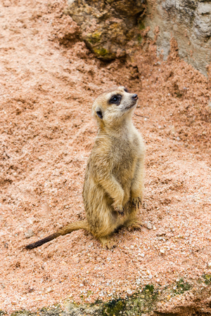 curios: A meerkat standing and watch out for the enemy for the pack