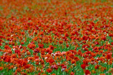 poppy field: papaver veld