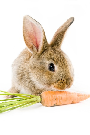 midget: Brown baby bunny and a carrot, isolated on white background  Stock Photo