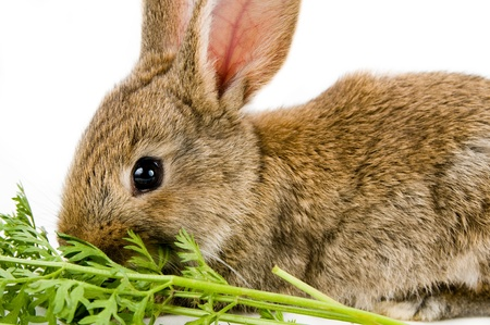 Brown baby bunny and a carrot, isolated on white background  photo