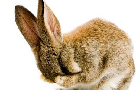 Bébé brun bunny isolé sur fond blanc  Banque d'images