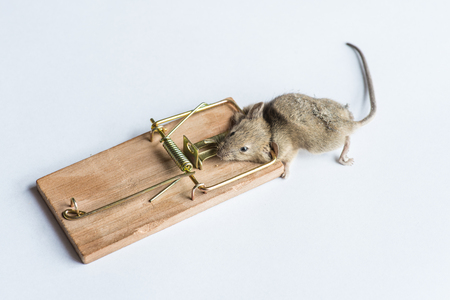 Gray, dead mouse trapped by mouse trap, separated on white