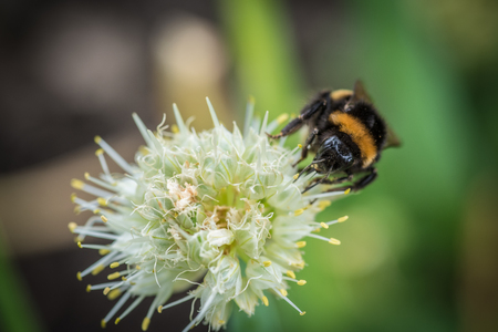landscape: Bumple bee sitting on the green flower. Close up view