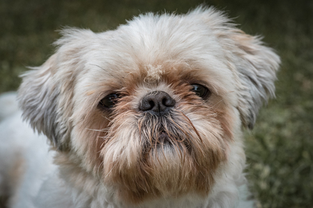 front facing: Portrait of shih-tzu dog, Pet and domestic animal concept. Stock Photo