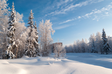 cirrus: Winter forest in sunny day in northern Russia Stock Photo