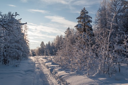 glisten: Ski track in the forest covered with fresh snow. Trees covered with hoarfrost and snow glisten in the sun. Extreme north of of Russia, Apatity.