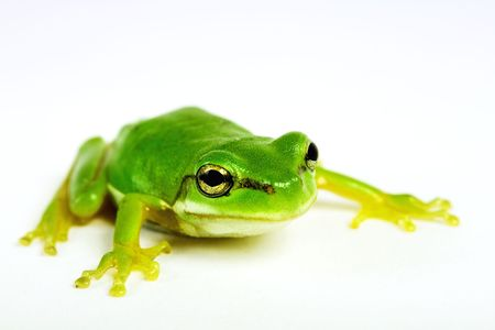 moisture: Little tree-frog on white background - close-up Stock Photo
