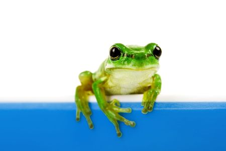 treefrog: Green frog looking out of blue cooking pot Stock Photo