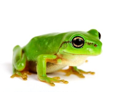 wetness: Little tree-frog on white background - close-up Stock Photo