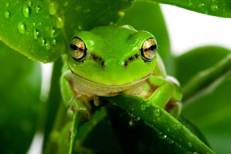 Frog peeking out from behind the leaves Stock Photo - 2946337