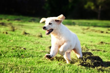 Golden retriever puppy running and jumping in the grass photo