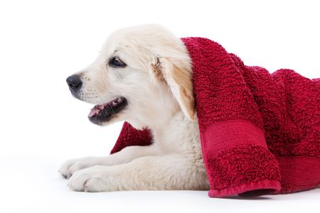 after the bath: Golden retriever puppy covered by towel after bath