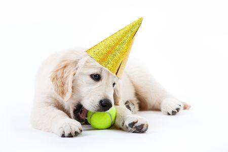 golden ball: Golden retriever puppy with tennis ball and a hat