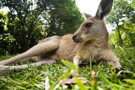 Young kangaroo lying down in the grass under trees photo