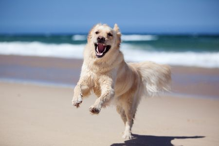passion play: Excited young golden retriever jumping and running on the beach Stock Photo