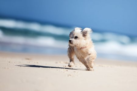 ourdoor: Small cute dog running on a white sandy beach