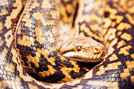 coiled: Detail of Scrub Python coiled up Stock Photo