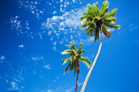 Close up of palm trees agains sunny blue sky photo