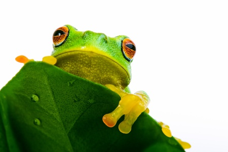tree frog: Frog peeking out from behind the wet leaf Stock Photo