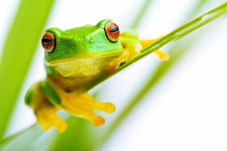 tree frog: Small green tree frog holding on to palm tree Stock Photo
