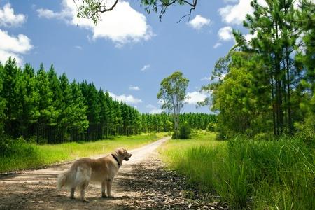 golden retriever: Golden retriever standing on a path to a forest
