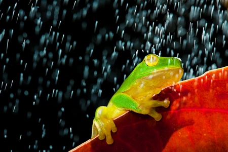 Little green tree frog sitting on red leaf in rain photo