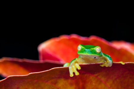 Little green tree frog sitting on red leaf on black background photo