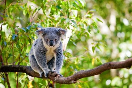koalabeer: Cute Australische koala in zijn natuurlijke habitat van gumtrees Stockfoto