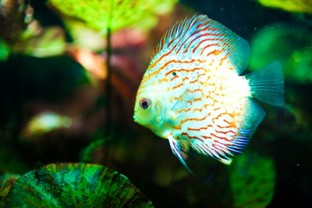 Red tropical Symphysodon discus fish swimming photo