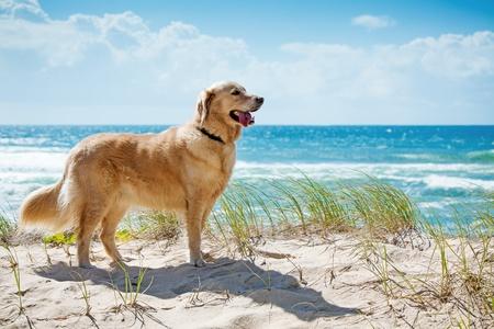 retriever: Golden retriever on a sandy dune overlooking tropical beach