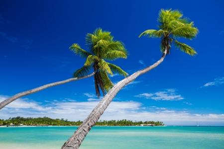 fiji: Couple of palm trees hanging over stunning green lagoon