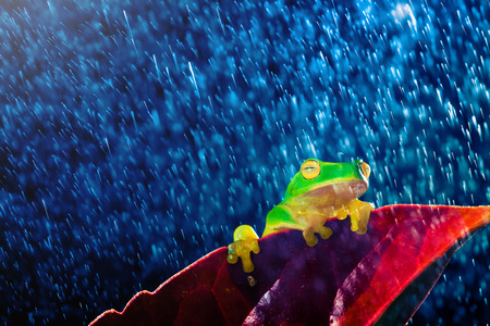 Small green tree frog sitting on red leaf in rain photo