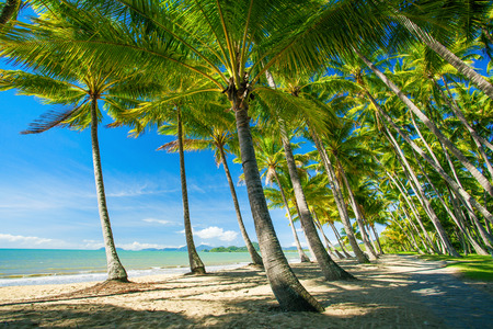 tropical tree: Palm trees on the beach of Palm Cove in Australia