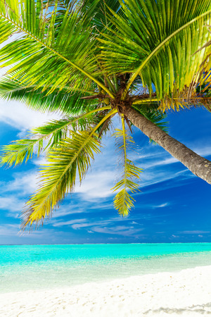 ocean plants: Single vibrant coconut palm tree on a white tropical beach