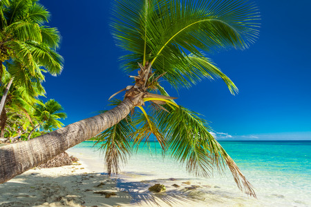 inviting: Palm tree overhanding the inviting lagoon on tropical Fiji Island