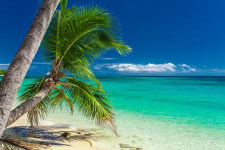fiji: Palm trees hanging over tropical beach on Fiji Islands
