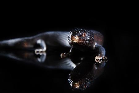 bluey: Black blue tongued lizard in dark shiny mirror environement