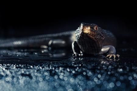 bluey: Black blue tongued lizard in wet dark shiny environement Stock Photo