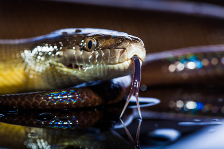 coiled snake: Single Rainbow Serpent Water Python - Liasis fuscus - isolated on black mirror in studio