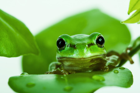 amphibia: Green tree frog peeking out from behind the leaves, isolated on white
