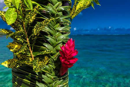 samoa: Teuila red flower used for wedding decoration agains beach on Samoa Islands