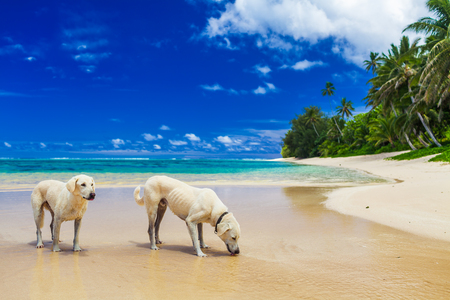 Two white dogs drinking water on the tropical beach, Cook Islands Stock Photo