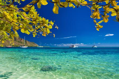 playas tropicales: Árbol con hojas amarillas sobre la playa de Moorea, Tahití, Polinesia Francesa Foto de archivo
