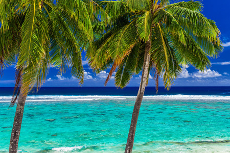 Coconut palm trees over the tropical beach on Rarotonga, Cook Islands
