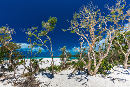 whitehaven beach: Amazing Whitehaven Beach in the Whitsunday Islands with white trees, Queensland, Australia