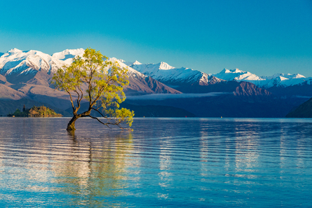 The famous Lonely tree of Lake Wanaka and snowy Buchanan Peaks, South Island, New Zealand 스톡 콘�츠