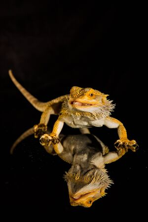 Agama bearded dragon reptile on black background, studio.