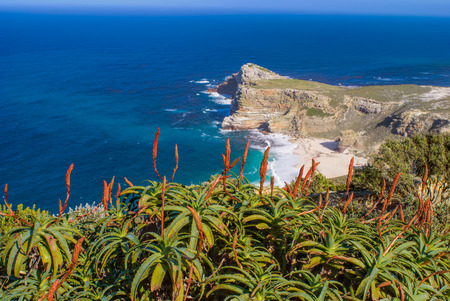 cape: Blooming red aloes overlooking deep blue Atlantic ocean at Cape Point