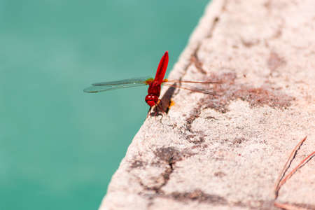 A red dragonfly near the water
