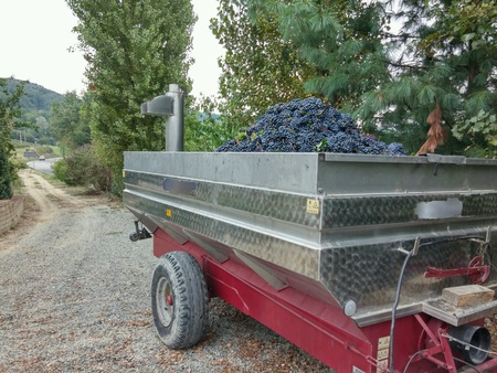 industrial: Farm cart with grapes for production fi red wine (Barbera). Piemonte. Italy